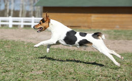 Gorgeous Parson Russell terrier running Royalty Free Stock Photography