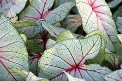 Gorgeous pattern and texture of leafy Caladium plant Royalty Free Stock Photography