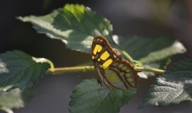 Gorgeous Patterned Wings on a Malachite Butterfly. Green malachite butterfly with patterned wings on a leaf stock photos