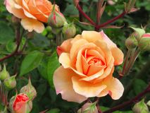 Gorgeous Peach Rose Flowers blossom In Queen Elizabeth Park Garden royalty free stock photo