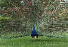 Gorgeous peacock Stock Images