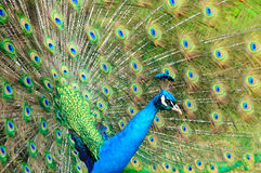 Gorgeous Peacock Stock Image