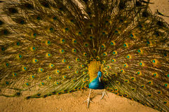A gorgeous peacock. Is spreading its tail Royalty Free Stock Photography