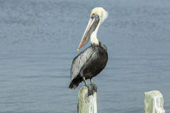 Free Gorgeous Pelican Sitting On A Wooden Stake. Royalty Free Stock Image - 65473656