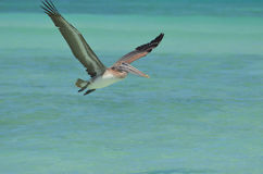 Gorgeous Pelican With Wings Extended in the Tropics Stock Photos