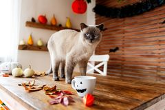 Gorgeous pet cat standing on table in halloween theme decorated living room. Lifestyle Halloween season family house. royalty free stock images