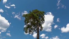Gorgeous pine tree up down view on blue sky with white clouds background. Beautiful nature stock video
