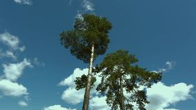 Gorgeous pines tree up down view on blue sky with white clouds background. Beautiful nature stock video footage