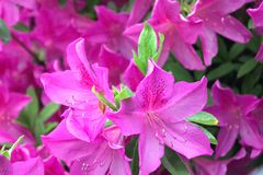 Gorgeous, Pink Azaleas show Color Royalty Free Stock Images