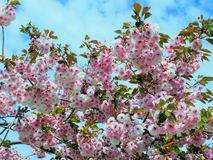 Gorgeous Pink Cherry Blossom At The Jericho beach Caada royalty free stock photo