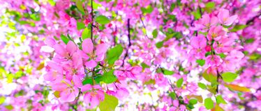 Gorgeous pink flowers as background for easter hollyday. Amazing pink cherry blossom on the tree during spring time. Branch of stock images