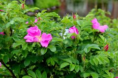 Gorgeous pink flowers tucked into greenery of bushes in landscaped garden. Bright pink fragrant flowers tucked into lush greenery of bushes lining backyard royalty free stock image