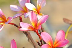 Gorgeous pink frangipani flowers with bright background Stock Photography