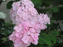 Gorgeous Pink Hydrangea Flowers blossom Park Garden summer 2018 royalty free stock image