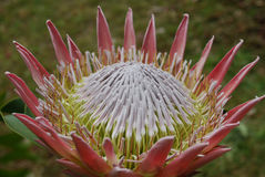Gorgeous Pink Spikey Protea Flower Blossoms in a Garden. Garden with pretty pink spikey protea flowers Royalty Free Stock Photography