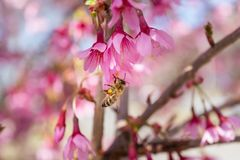Closeup of a honey bee working hard collecting pollen from a beautiful pink spring flower stock photo