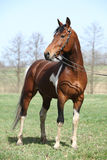 Gorgeous pinto stallion with nice bridle Stock Photo