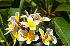 Gorgeous Plumeria or Frangipani blooming in garden. Royalty Free Stock Image