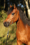 Gorgeous pony mare with nice show halter Royalty Free Stock Images