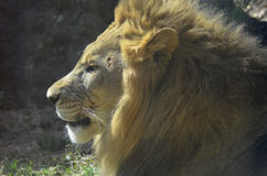 Gorgeous Profile of a Large Male Lion. An up close look at the profile of a male lion Royalty Free Stock Image