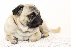 Gorgeous pug Stock Image