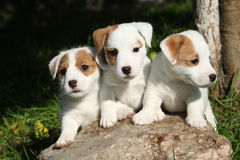 Gorgeous puppies of Jack Russell Terrier Royalty Free Stock Image