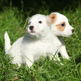 Gorgeous puppies of Jack Russell Terrier Royalty Free Stock Images