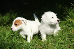 Gorgeous puppies of Jack Russell Terrier Stock Photos