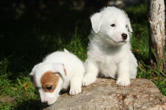 Gorgeous puppies of Jack Russell Terrier on stone Stock Photos