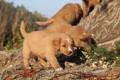 Gorgeous puppies of Nova Scotia in nature Royalty Free Stock Photo