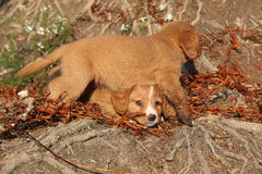 Gorgeous puppies of Nova Scotia in nature Stock Images