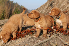 Gorgeous puppies of Nova Scotia in nature Stock Photography