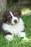Gorgeous puppy of australian shepherd Stock Photos