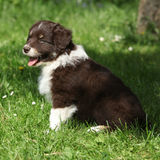 Gorgeous puppy of australian shepherd smiling Stock Images