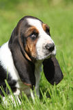Gorgeous puppy of basset hound in the grass Stock Images