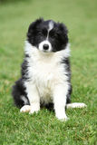 Gorgeous puppy of border collie sitting Stock Photography
