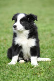 Gorgeous puppy of border collie sitting Royalty Free Stock Photo