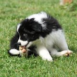 Gorgeous puppy of border collie sitting Stock Image