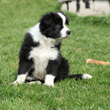 Gorgeous puppy of border collie sitting Stock Photos