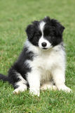 Gorgeous puppy of border collie sitting Royalty Free Stock Photography