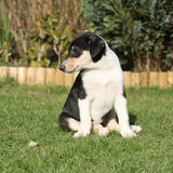Gorgeous puppy of Collie Smooth in the garden Stock Photos