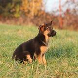 Gorgeous puppy of german shepherd sitting Stock Photography