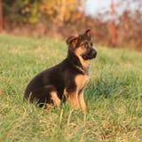 Gorgeous puppy of german shepherd sitting Stock Image