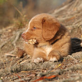 Gorgeous puppy of nova scotia lying on roots Stock Images