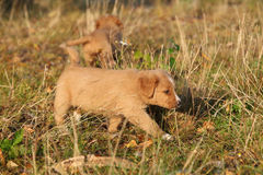 Gorgeous puppy of Nova Scotia in nature Royalty Free Stock Photo