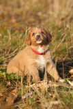 Gorgeous puppy of nova scotia sitting in nature Stock Photo