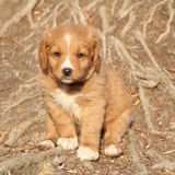 Gorgeous puppy of nova scotia sitting on roots Stock Images