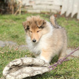 Gorgeous puppy of Scotch collie in the garden Stock Photography