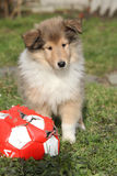 Gorgeous puppy of Scotch collie in the garden Stock Images