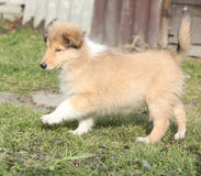 Gorgeous puppy of Scotch collie in the garden Stock Image